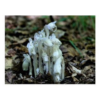 Indian Pipe Mushrooms Nature Photo Postcard