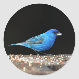 Indigo Bunting Close up with seed Classic Round Sticker