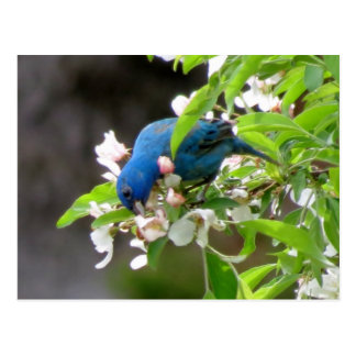 Indigo Bunting Feeding - Bird Postcard