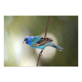 Indigo Bunting perched on bare branch Photo Print