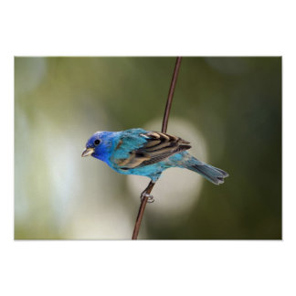 Indigo Bunting perched on bare branch Poster