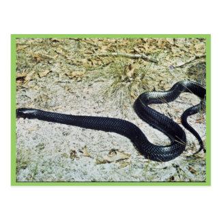Indigo Snake Postcard
