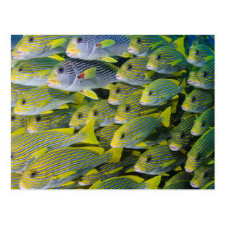 Indonesia. Schooling Fish Postcard