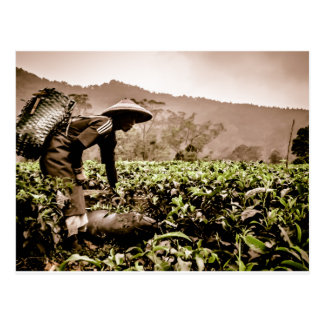Indonesian Tea fields worker 2, travel postcard