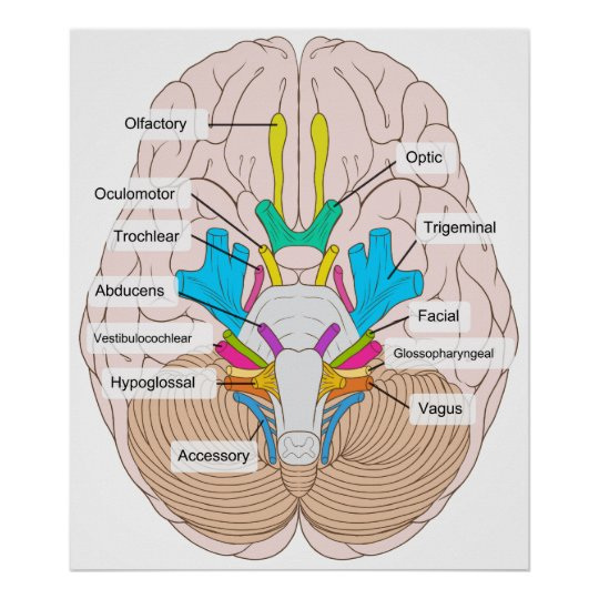 Inferior view of cranial nerves in the human brain poster zazzle inferior view of cranial nerves in the human brain poster ccuart Image collections