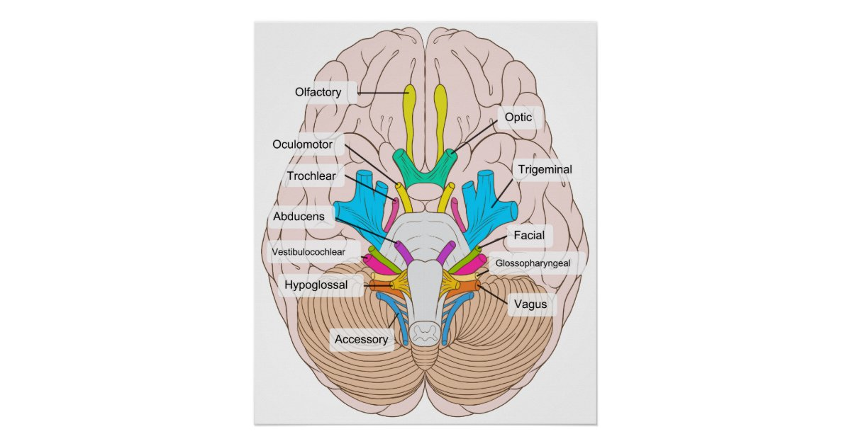 Inferior view of cranial nerves in the human brain poster zazzle ccuart Image collections