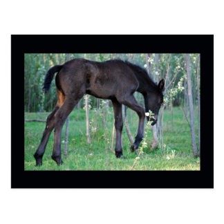 Inquisitive little foal post cards