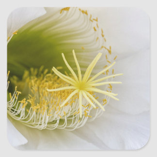 Inside of an Echinopsis in bloom Square Sticker