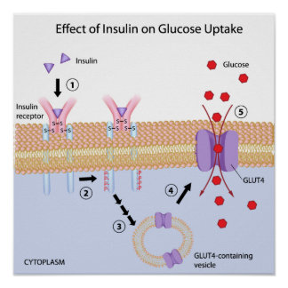 Insulin and Glucose uptake Poster