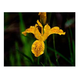 Iris 02 de l'Orégon Carte Postale