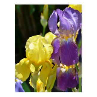 Iris au printemps carte postale