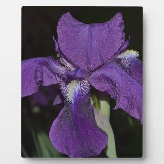 Iris barbu dans les pourpres photos sur plaques