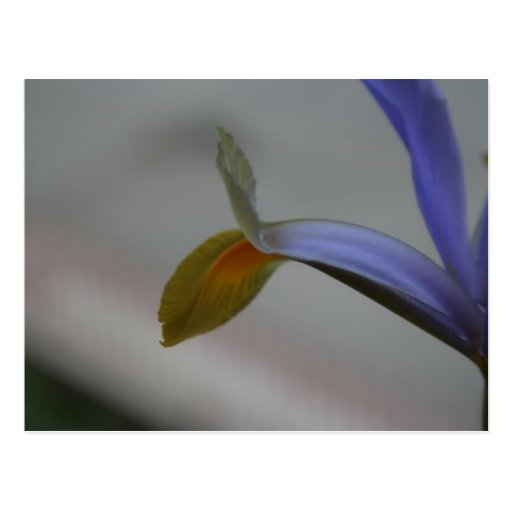 Iris Bleu-Jaune Carte Postale