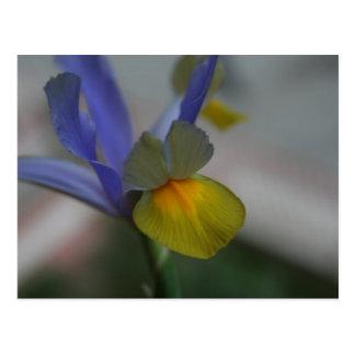 Iris Bleu-Jaune Cartes Postales