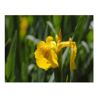 Iris de drapeau jaune (pseudacorus d'iris) carte postale