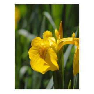 Iris de drapeau jaune (pseudacorus d'iris) cartes postales