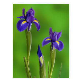 Iris Flowers Postcard