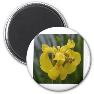 Iris jaune magnets