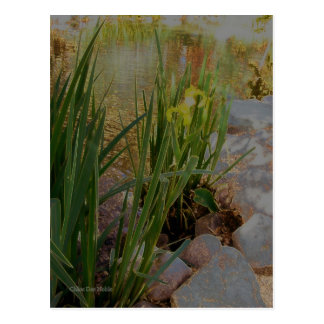 Iris jaune carte postale