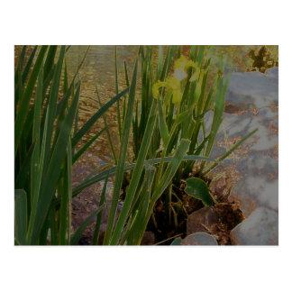 Iris jaune cartes postales