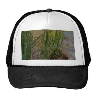Iris jaune casquettes