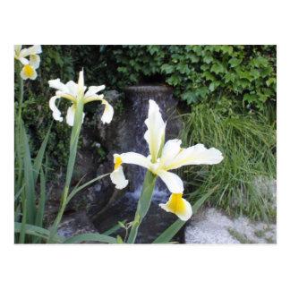 Iris jaune pâle cartes postales