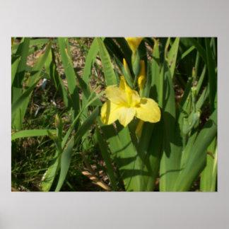Iris jaune poster