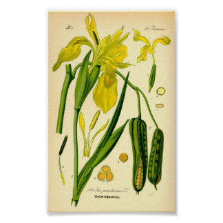 Iris jaune (pseudacorus d'iris) poster