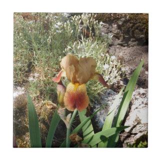 Iris jaune carreau