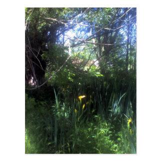 Iris jaunes près de l étang cartes postales