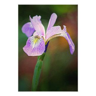 Iris pourpre 1 tirages photo