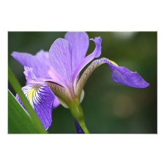 Iris pourpre 2 photo sur toile