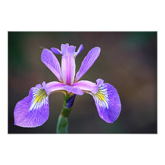Iris pourpre 4 photos