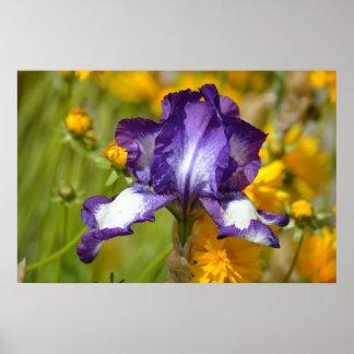 Iris pourpre posters