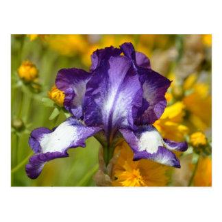 Iris pourpre carte postale