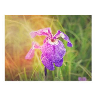 Iris pourpre en soleil carte postale