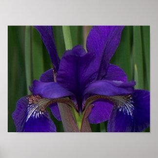 Iris pourpre poster