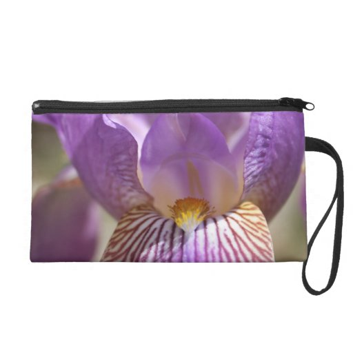 Iris pourpre dragonnes