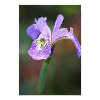 Iris pourpre simple  tirage photo