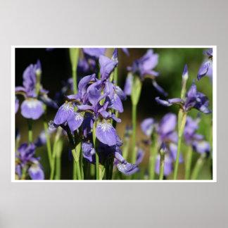 iris pourpres affiches