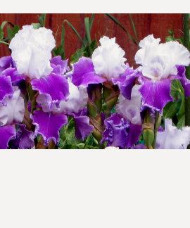 Iris pourpres et blancs t-shirt