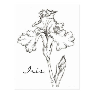 Iris Spring Flower Pen and Ink Drawing Postcard