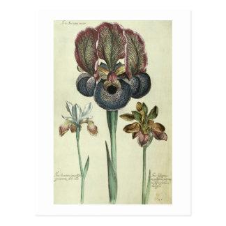Iris susiana major and Iris bisantina angustifolia Postcard