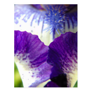 Iris Unfolding Postcard