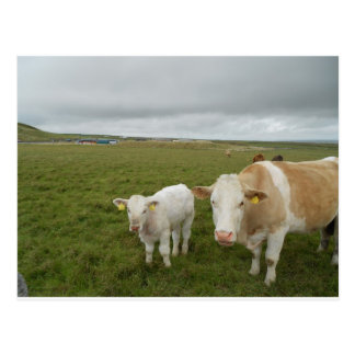 IRISH COWS POSTCARD