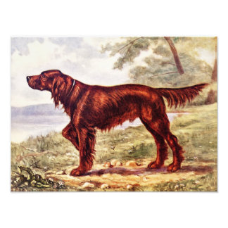 Irish Setter 1900 Illustration of Sporting Dog Photo Print
