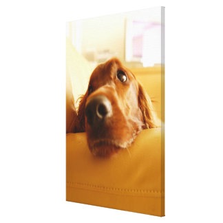 Irish Setter on sofa Canvas Print