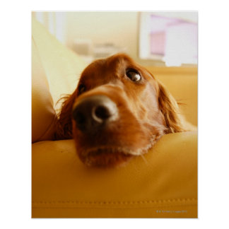 Irish Setter on sofa Poster
