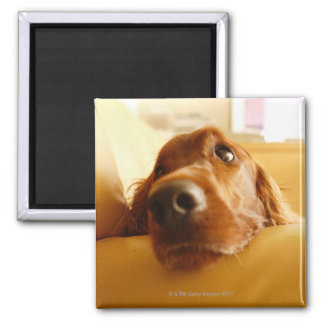 Irish Setter on sofa Square Magnet