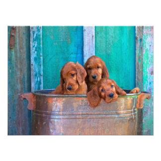 Irish Setter Puppies Photo Print